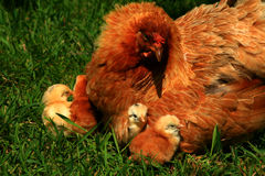 курица 2 цыпленоков araucana Стоковые Фото