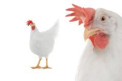 Курица Стоковая Фотография RF
