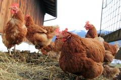 Курица стоковая фотография