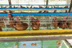 Курица Стоковые Фотографии RF