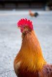 Курица стоковое фото rf
