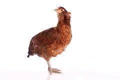 Курица Araucana голубых пасхальных яя от Чили стоковые фото