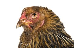 Курица Brahma, конец вверх против белой предпосылки стоковые изображения