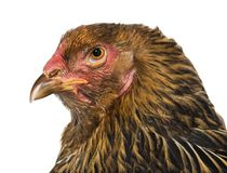 Курица Brahma, конец вверх против белой предпосылки стоковая фотография rf