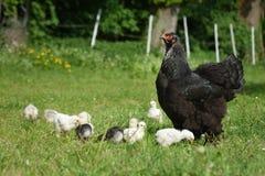Курица Brahma наблюдая над своими детенышами Стоковые Изображения