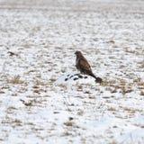 курица harrier Стоковая Фотография RF