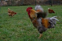 Курицы Брайна с их краном Стоковое Изображение RF
