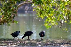 Курицы воды Стоковые Фото