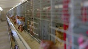 Курицы в клетках стоковые фото
