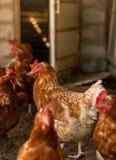 Курицы в курятнике пошли вне для прогулки и наблюдали в изумлении стоковые фотографии rf