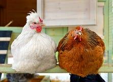 Курицы в курятнике Стоковое Изображение