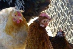 Курицы в ферме подробно Стоковая Фотография RF