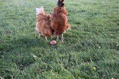 2 курицы деля яблоко на птицеферме стоковое изображение rf