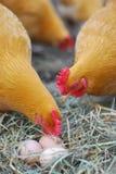 Курицы и органические яичка Стоковые Изображения