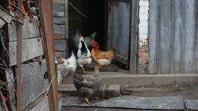 Курицы и петухи из курятника сток-видео