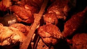 Курицы и петух в курятнике видеоматериал