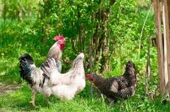 Курицы и петух Стоковые Фото