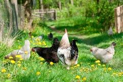 Курицы и петух Стоковые Изображения