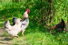 Курицы и петух Стоковое Фото