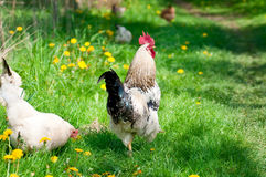 Курицы и петух Стоковое фото RF