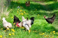 Курицы и петух Стоковые Изображения RF