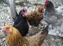 Курицы и цыплята стоковое фото rf