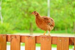 Курицы и цыплята Стоковые Изображения