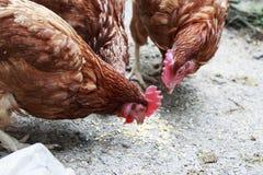 Курицы клюя мозоль на том основании Стоковые Изображения