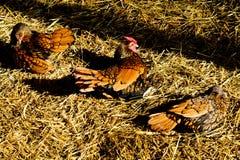 3 курицы на соломе Стоковые Изображения RF