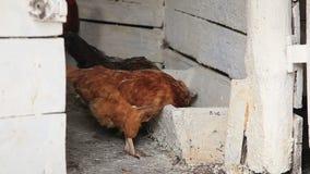 Курицы подавая в амбаре курятника сток-видео