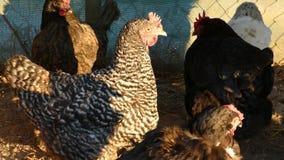 Курицы подают на традиционном сельском скотном дворе на солнечном дне Закройте вверх цыпленка стоя на дворе амбара с курятником акции видеоматериалы