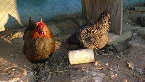 Курицы подают на традиционном сельском скотном дворе на солнечном дне Закройте вверх цыпленка стоя на дворе амбара с курятником сток-видео