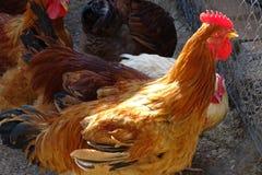 Курицы подробно в ферме Стоковое фото RF