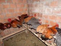 Курицы спать на окуне стоковые изображения