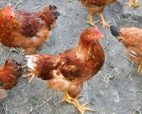 Курицы с фокусом на средней курице стоковое изображение rf
