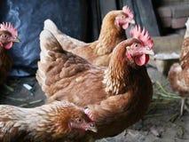 Курицы Стоковые Изображения RF