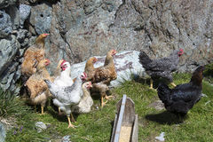 курицы стоковое фото