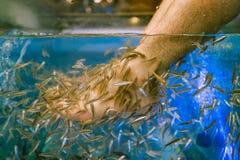 Курорт ноги рыбами доктора, пресноводной рыбой используемой для обрабатывать стоковая фотография