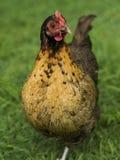курочка цыплятины bantam задворк золотистая зашнурованная Стоковые Фотографии RF