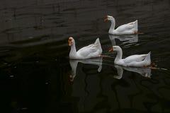 Курсировать в пруде в большой белой гусыне стоковые фотографии rf