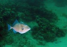 курсируя серый triggerfish Стоковые Изображения