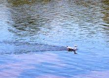 Курсируя чайка Стоковая Фотография