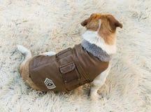 Куртка собаки Стоковые Фотографии RF