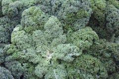 Курчавая листовая капуста Стоковые Фото