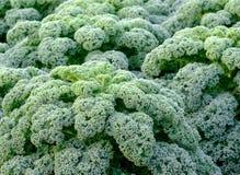 Курчавая листовая капуста Стоковое Изображение