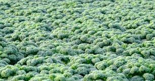 Курчавая листовая капуста Стоковые Изображения RF