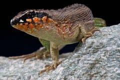 курчавая jewelled замкнутая ящерица Стоковые Изображения RF