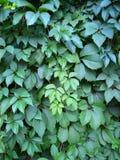 Курчавые ветви с листьями одичалых виноградин Стоковое Изображение RF