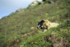 Курчавые horned овцы в пробочке, Ирландии Стоковое фото RF