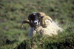 Курчавые horned овцы в пробочке, Ирландии Стоковое Изображение